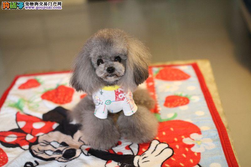 茶杯犬 茶杯犬价格茶杯犬图片 茶杯犬多少钱 专业繁育