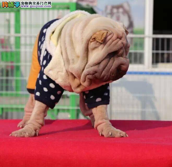特惠纯种沙皮幼犬南昌自家繁殖沙皮狗出售纯种健康