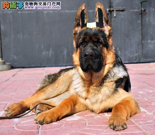 专业正规犬舍热卖优秀昆明犬保证冠军级血统4