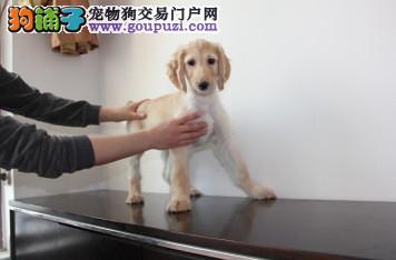 精品纯种阿富汗猎犬出售质量三包假一赔万签活体协议