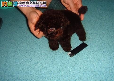 超小体长不大的茶杯犬博美全白色无杂毛1