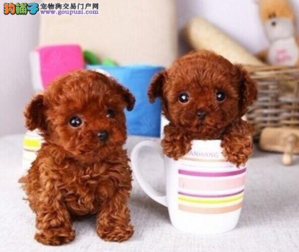 呼和浩特正规犬舍高品质茶杯犬带证书加微信送用品2