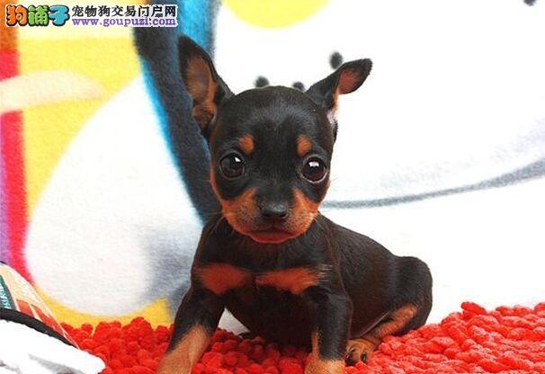 小鹿犬武汉CKU认证犬舍自繁自销喜欢来电咨询