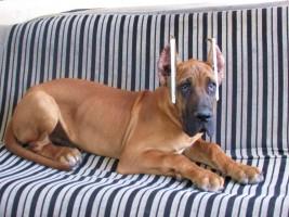 最大犬舍出售多种颜色大丹犬当地上门挑选1