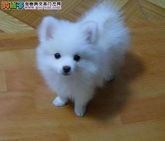 出售银狐犬幼犬,完美品相 品质第一,三包终生协议