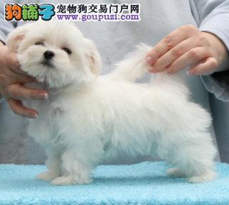 深圳哪里有卖马尔济斯犬犬舍直销保障品质健康