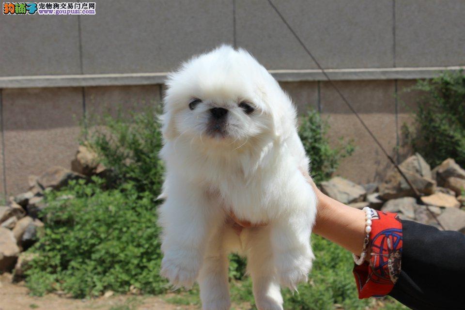 漂亮的京巴犬 宫廷巴 北京犬幼犬 聪明可爱的京巴