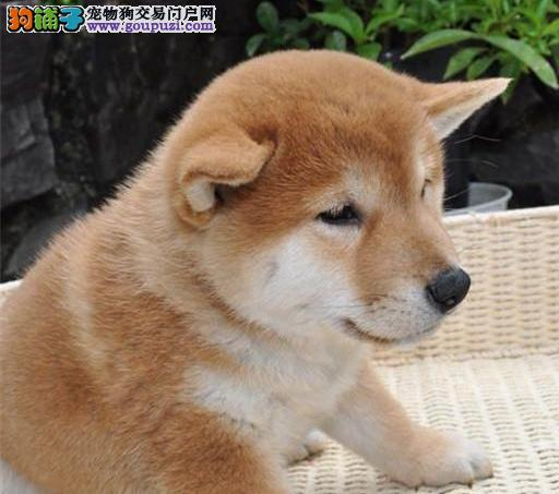 苏州养殖场直销日本柴犬幼犬 多只可选包健康送用品