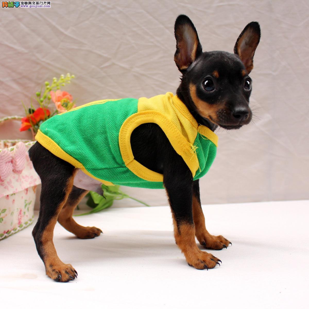 小鹿犬 武汉极品小鹿犬出售 赛级标准