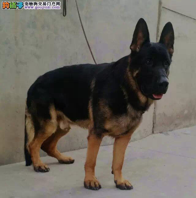精品昆明犬幼犬一对一视频服务买着放心狗贩子请勿扰3