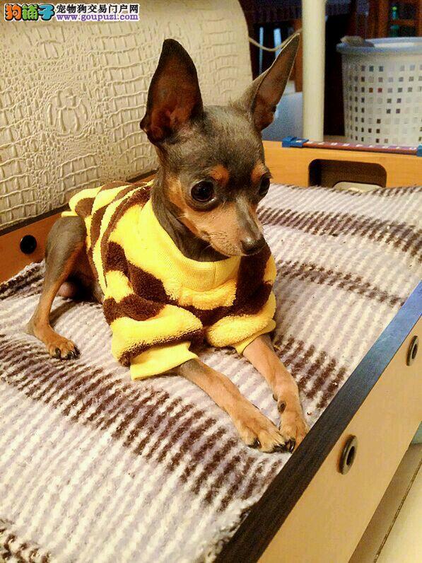 杭州本地出售高品质小鹿犬宝宝提供护养指导