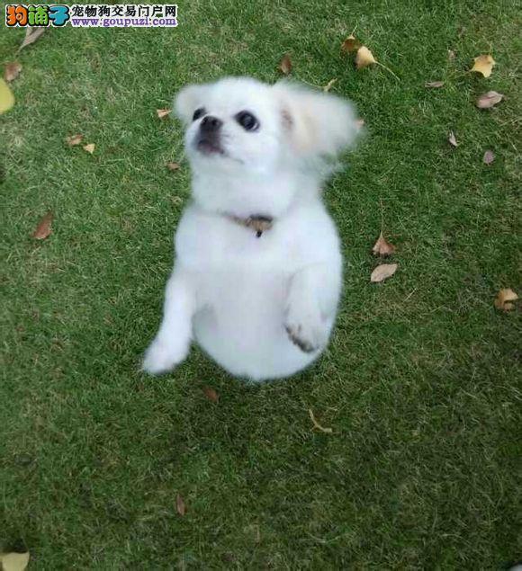 热销京巴幼犬,打完疫苗证书齐全,提供养护指导