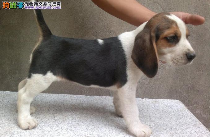 成都买纯种比格犬签订质保协议米格鲁比格纯种保终身