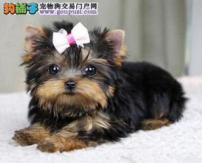 荆州专业繁殖纯种约克夏幼犬 赛级品相 保健康
