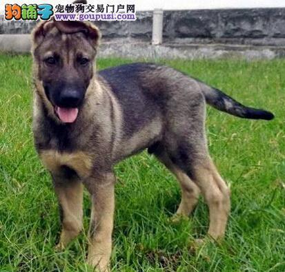 养殖场直销完美品相的昆明犬签订合法售后协议
