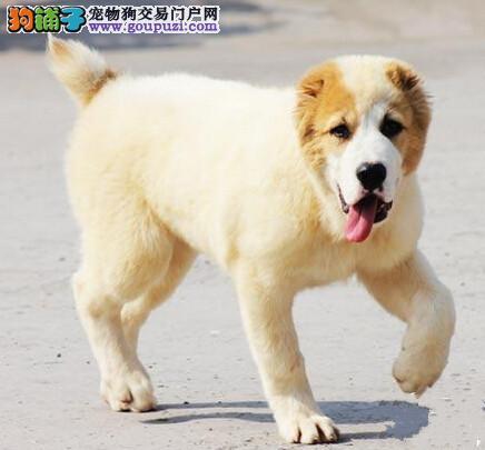 专业正规犬舍热卖优秀的中亚牧羊犬包养活送用品图片