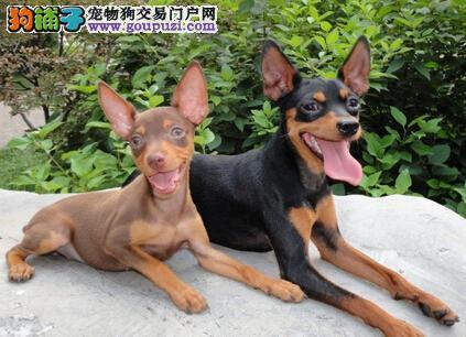 纯种鹿犬价格_广州哪有纯种小鹿犬幼犬广州小鹿犬的价格多