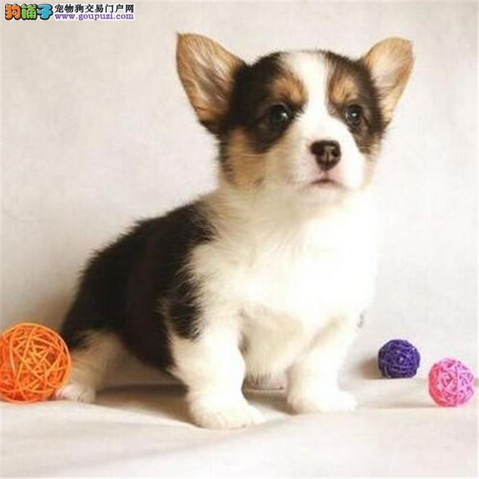 安康售威尔士柯基犬两色三色柯基英国女王犬高端宠物狗