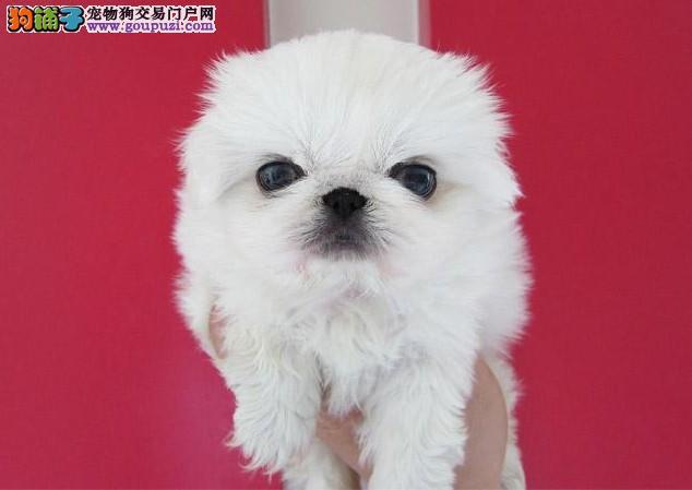 广元出售纯种漂亮的宫廷京巴犬 健康质保 签订购犬合同