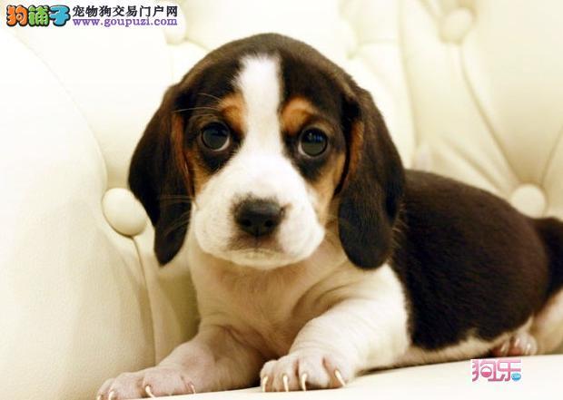 怀柔售纯种健康比格犬幼犬血统纯正大眼睛小体型护卫犬