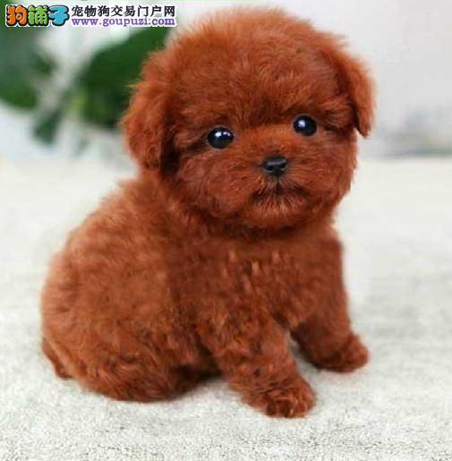 高品质的赛级泰迪幼犬出售了 疫苗做完 质量三包2