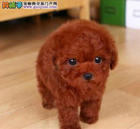 高品质的赛级泰迪幼犬出售了 疫苗做完 质量三包1