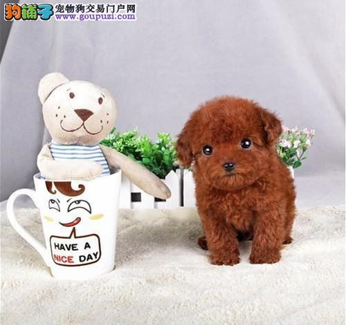 高品质的赛级泰迪幼犬出售了 疫苗做完 质量三包3
