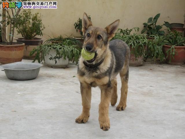 顶级优秀的纯种昆明犬泉州热卖中微信看狗可见父母