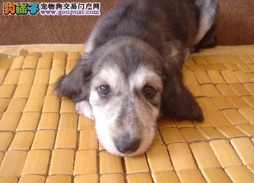 出售阿富汗猎犬幼犬,保证品质一流,三年联保协议