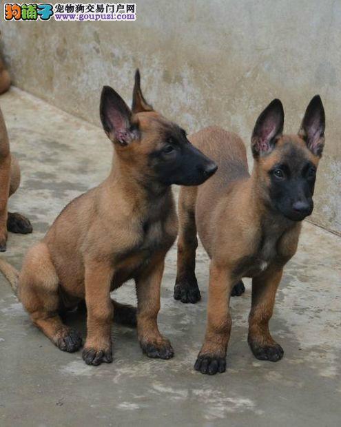 坚持马犬纯正繁殖 保证健康 保证纯种 太原出售