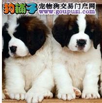 狗场常年直销高品质圣伯纳犬 包纯包健康 可签协议