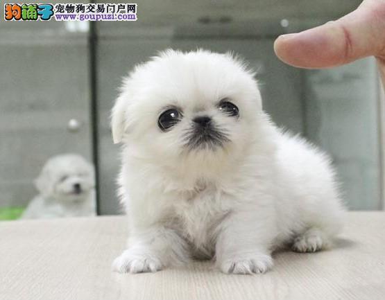 武汉最大犬舍出售多种颜色京巴喜欢它的快来