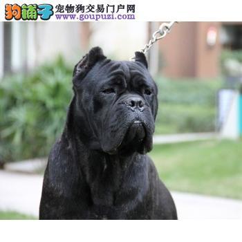 出售高品质卡斯罗犬,金牌店铺价位最低,专业信誉服务