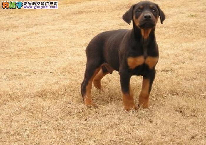 (转让)纯种德系杜宾幼犬-保纯种 保健康 保品质!