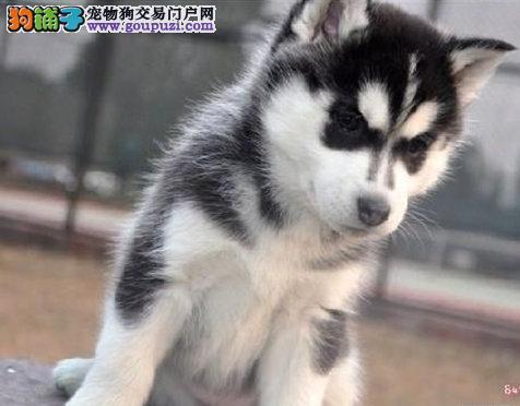 成都售高品质哈士奇 小哈 西伯利亚雪橇犬二哈