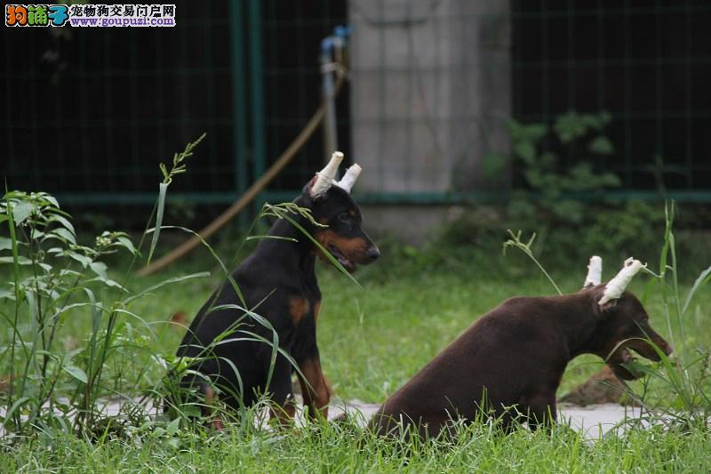 高贵气质 纯种黑色 咖啡色杜宾犬 顶级 纯种健康疫苗齐