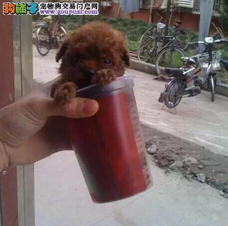 品质健康有保障茶杯犬热卖中品质优良诚信为本图片