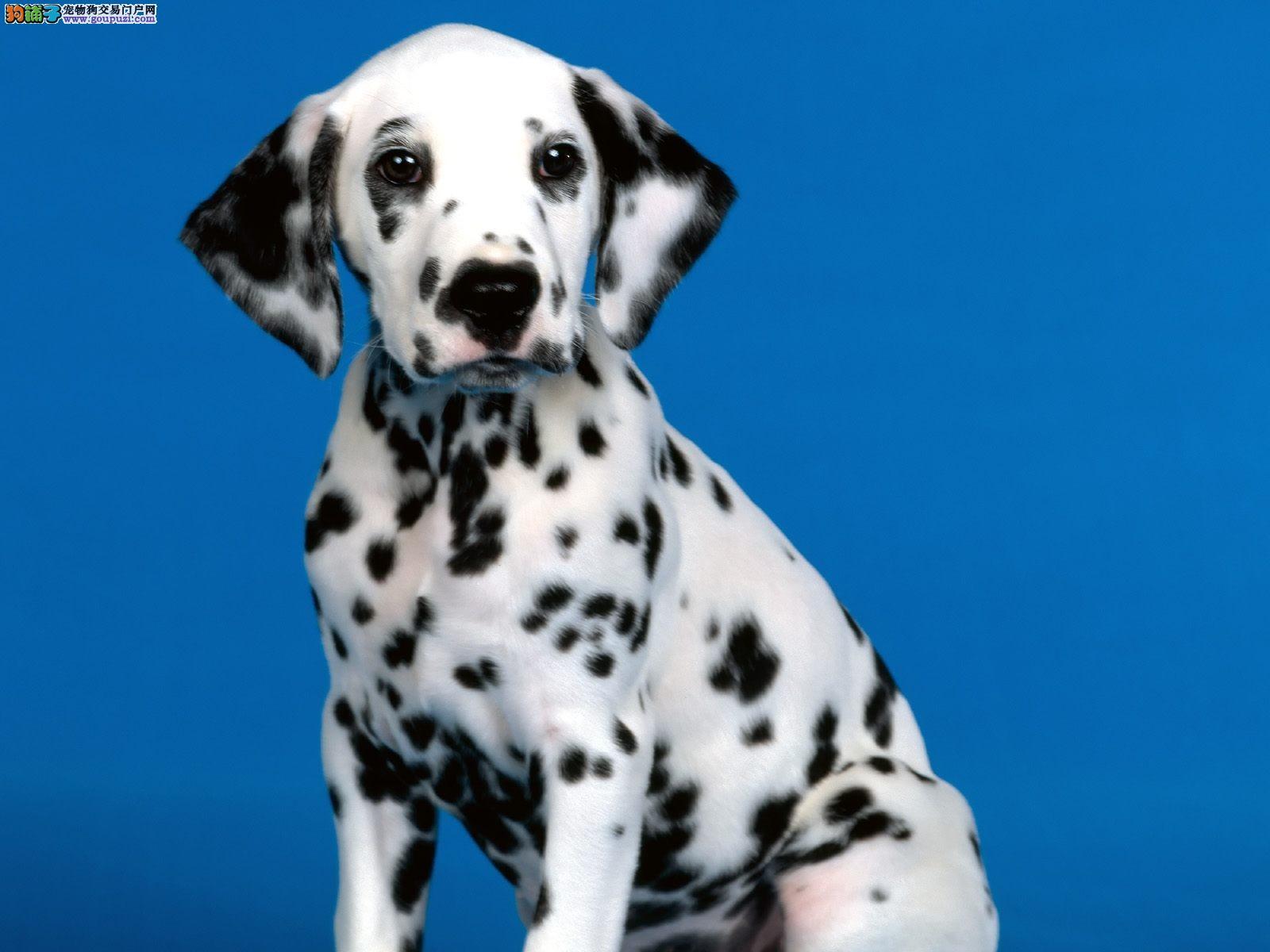 斑点狗宝宝热销中,纯度好100%健康,购犬可签协议1