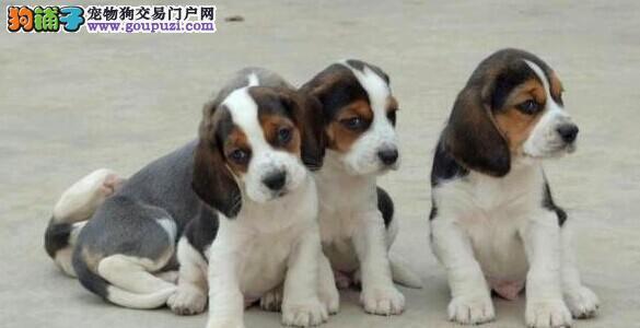 家养一窝比格幼犬出售 公母均有 疫苗驱虫已做 包售后