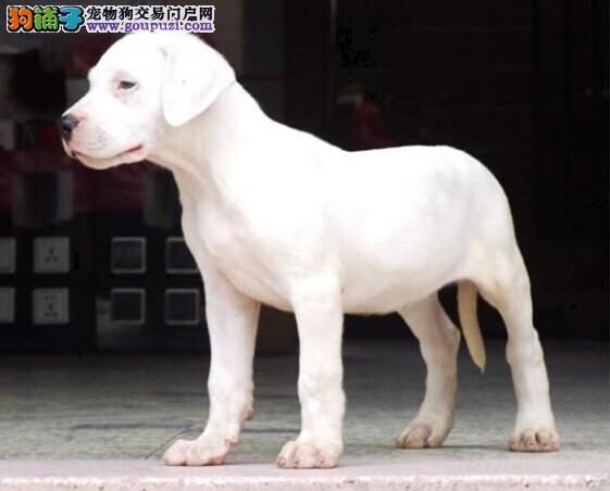长春纯种杜高犬三年联保 售后完美保证买的放心