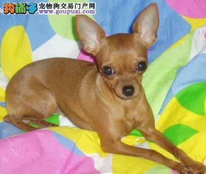 黑龙江哪里有小鹿犬卖 黑龙江小鹿犬多少钱