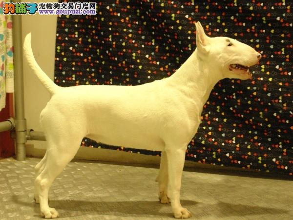 青海哪里有牛头梗犬卖 青海牛头梗犬多少钱 青海宠物