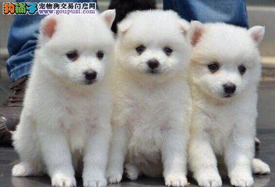 怎样购买银狐犬你才能保证它们的质量