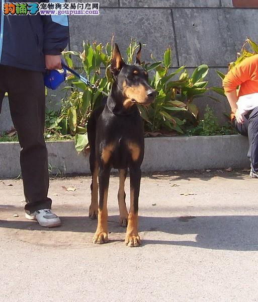 青岛市出售杜宾犬幼犬 疫苗齐全 协议质保 可上门选购2