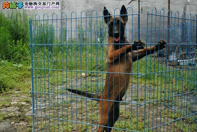 售马犬幼犬价格合理比利时马犬警犬高品质