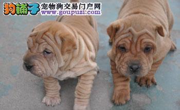 出售遵义沙皮狗健康养殖疫苗齐全狗贩子请勿扰