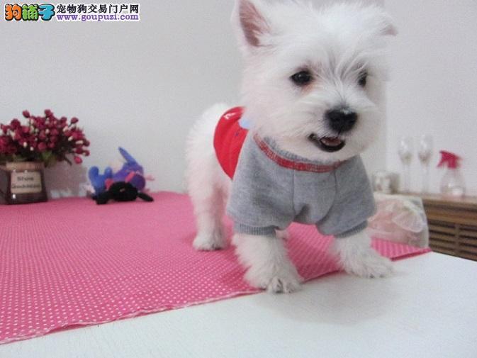 上海机灵可爱的 小西高地公主和王子 找新家