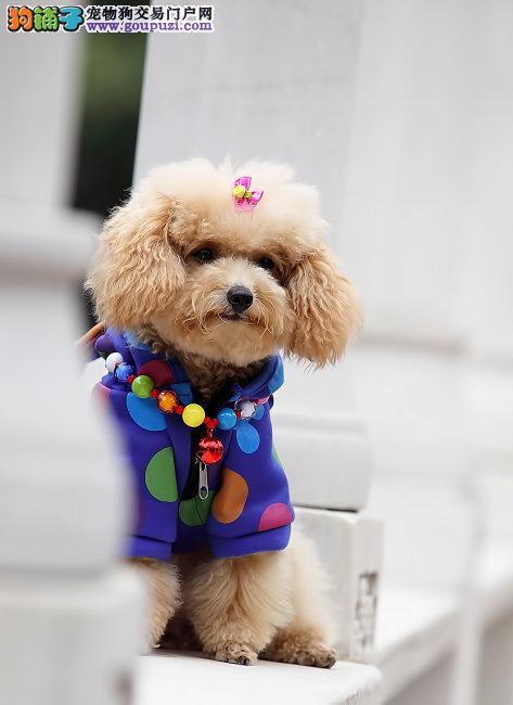山西太原售纯种泰迪犬茶杯泰迪卷毛小贵宾公母全