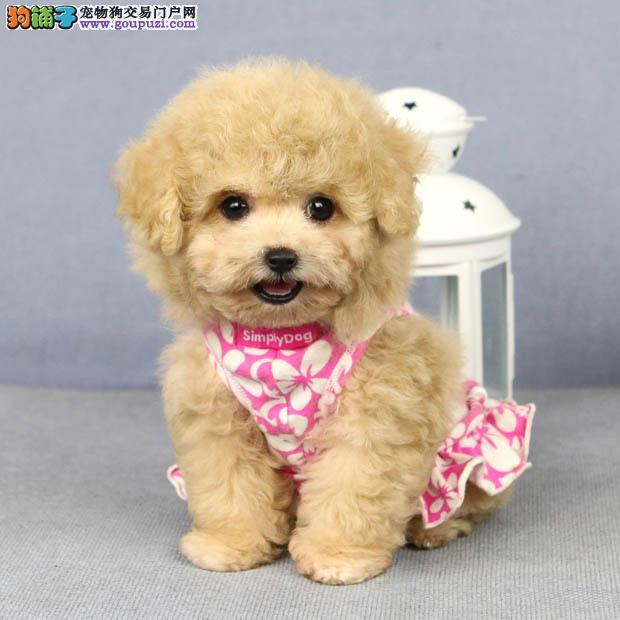 宁波信誉犬舍特价出售纯种韩系血统泰迪犬 保质量