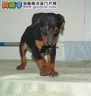 .身体结构紧凑,肌肉发达而有力 杜宾犬